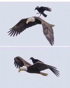 eagle and the crow